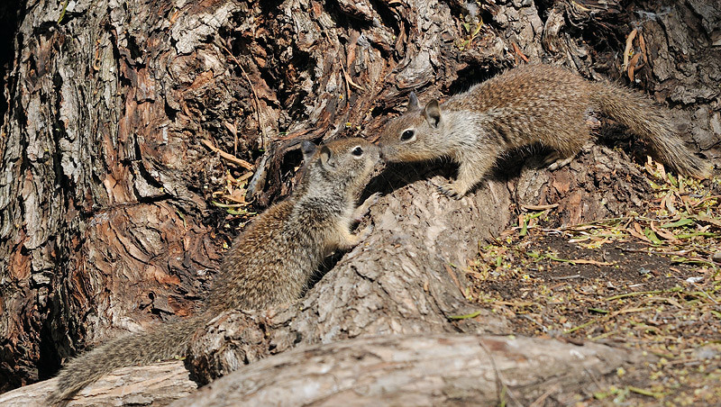 GROUND SQUIRRELS, LINDO LAKE, CALIFORNIA