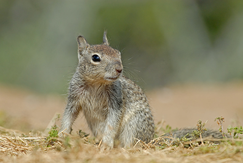 GROUND SQUIRREL, SANTEE LAKES, CALIFORNIA