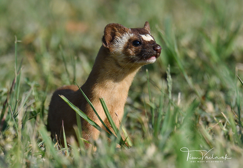 LONG TAILED WEASEL, LINDO LAKE, CALIFORNIA