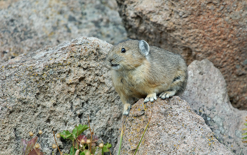 PIKA, YELLOWSTONE N.P.,WYOMING