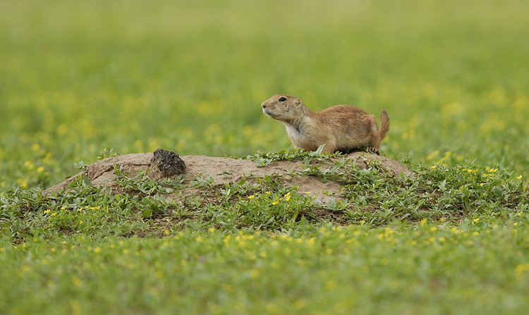 PRAIRIE DOG, KANSAS