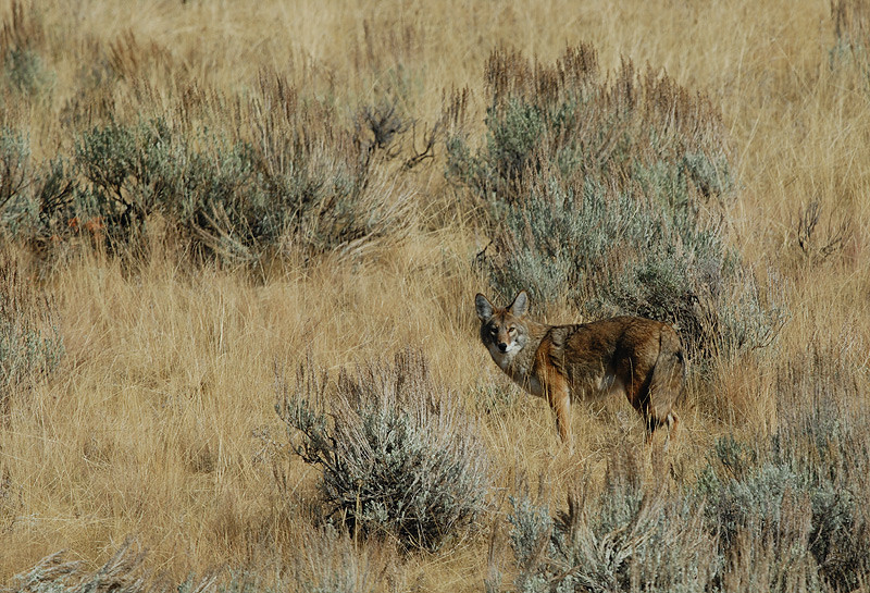 COYOTE, LAMAR VALLEY, YELLOWSTONE N.P., WYOMING