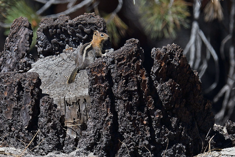 GOLDEN MANTLED GROUND SQUIRREL, SEQUOIA NATIONAL FORREST, CALIFORNIA