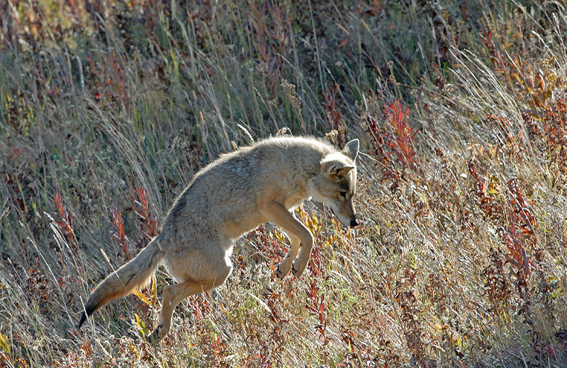 COYOTE POUNCING ON VOLE, YELLOWSTONE N.P., WYOMING