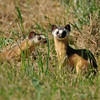 LONG TAILED WEASELS, LINDO LAKE , CALIFORNIA