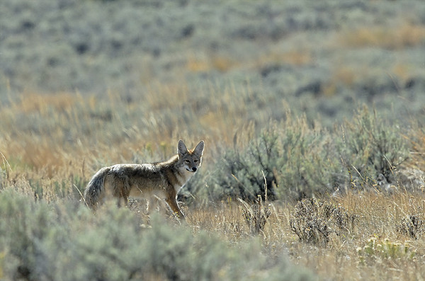 COYOTE, YELLOWSTONE N.P. WYOMING
