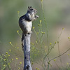 GROUND SQUIRREL, CUYAMACA S.P., CALIFORNIA