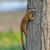 LONG TAILED WEASEL, LINOD LAKE, CALIFORNIA