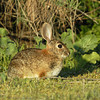 BRUSH RABBIT, SANTEE, CALIFORNIA