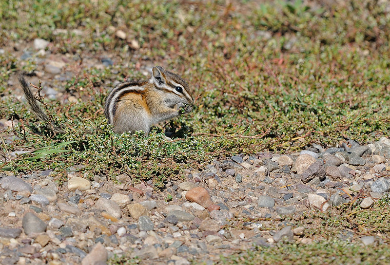 CHIPMONK, GRAND TETON N.P., WYOMING