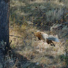 RED FOX, YELLOWSTONE N.P., WYOMING