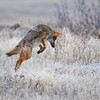 COYOTE MOUSEING IN CUYAMACA S.P., CALIFORNIA