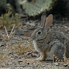 RABBIT, LAKE JENNINGS, CALIFORNIA