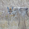 COYOTE. GRAND TETON N.P. , WYOMING