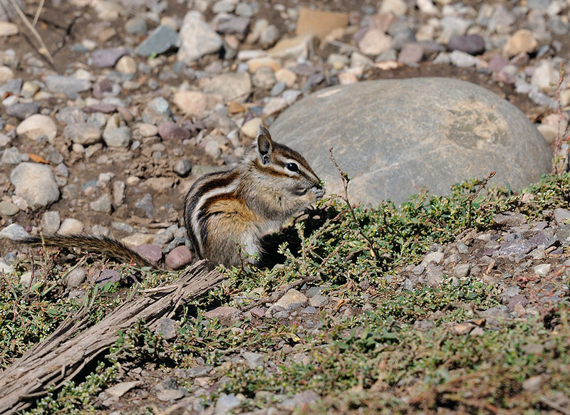 CHIPMONK, GRAND TETON N.P. WYOMING
