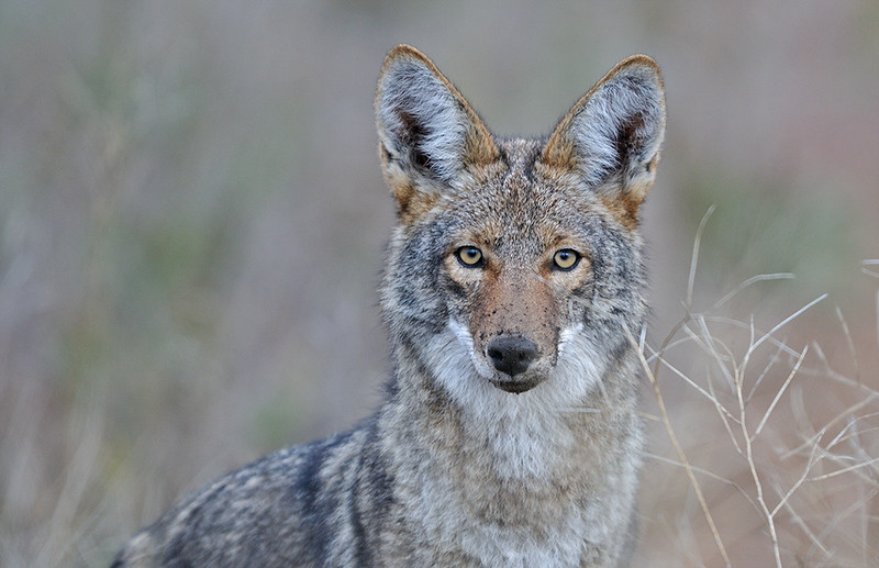 COYOTE, CUYAMACA S.P., CALIFORNIA