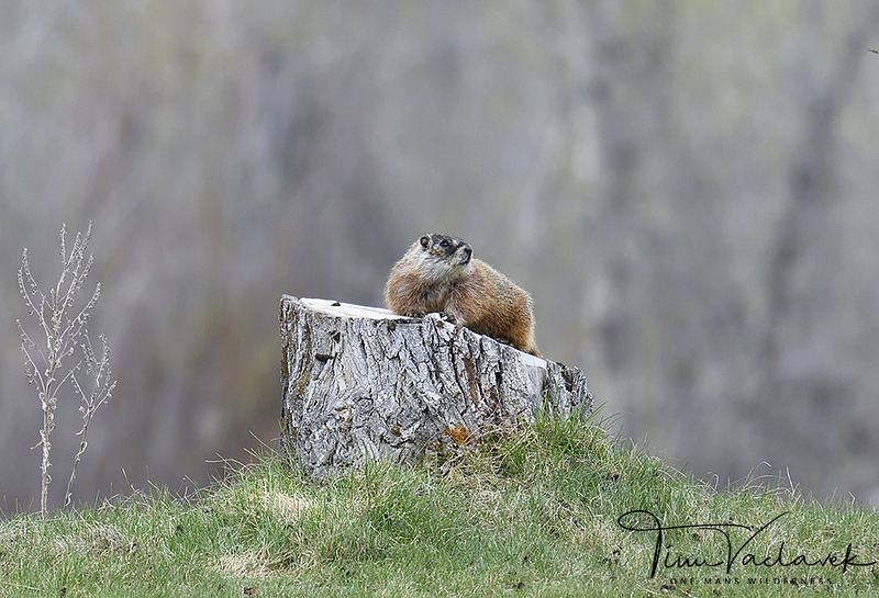 MARMOT, JACKSON HOLE, WYOMING
