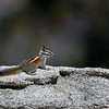 CHIPMUNK, SEQUOIA NATIONAL FORREST, CALIFORNIA