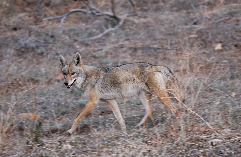 COYOTE, CUYMANCA S.P., CALIFORNIA