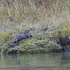 RIVER OTTER WITH FISH, GRAND TETON N.P., WYOMING