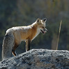 RED FOX, YELLOWSTONE N.P.