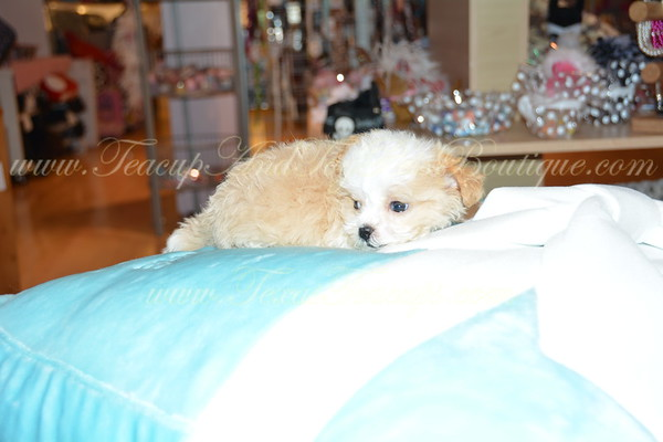 + SNEAK PREVIEW + Upcoming Puppies For Sale!