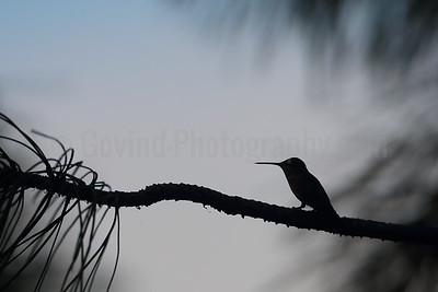 Black-chinned Hummingbird Silhouette