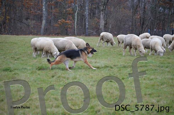 SNH-Herding-11/01/14