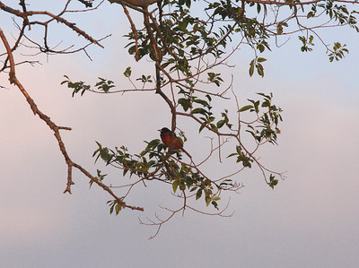 Just below the nest limb, an Orchard Oriole stops by.