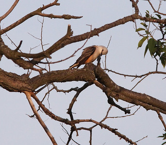 After the breeding, the male goes back to a lower branch, about 18 inches from the nest, and starts preening again.
