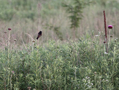 After a brief visit, the Orchard Oriole heads off to the field - it was starting to get dark.