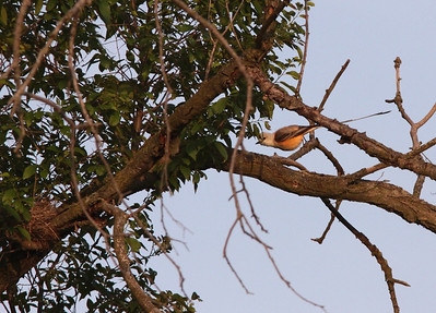 "Male ""dropping"" to nest which is visible at left."