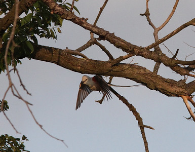 Flying to nest.