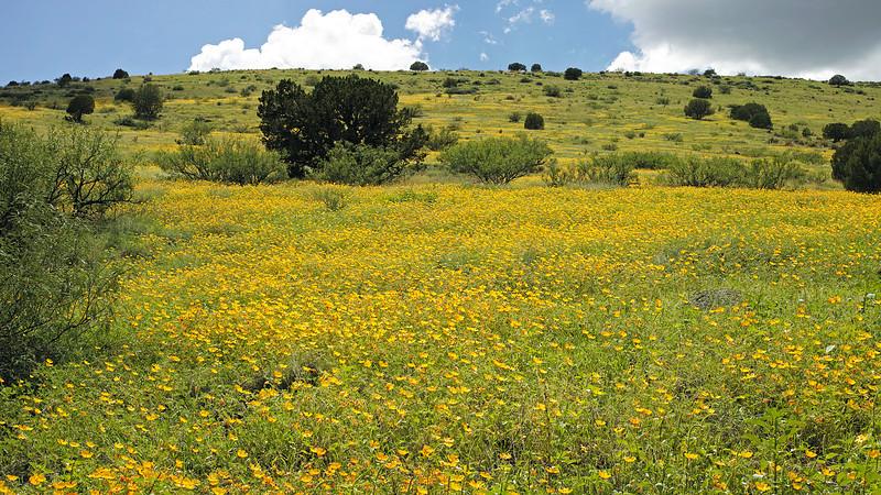 Arizona caltrops, Kallstroemia grandiflora
