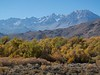 November color in the cottonwoods.  Owens Valley.