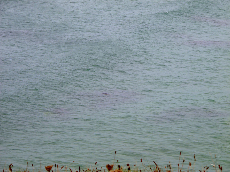 One of two seals (species unknown) which played with each other for some minutes just offshore.