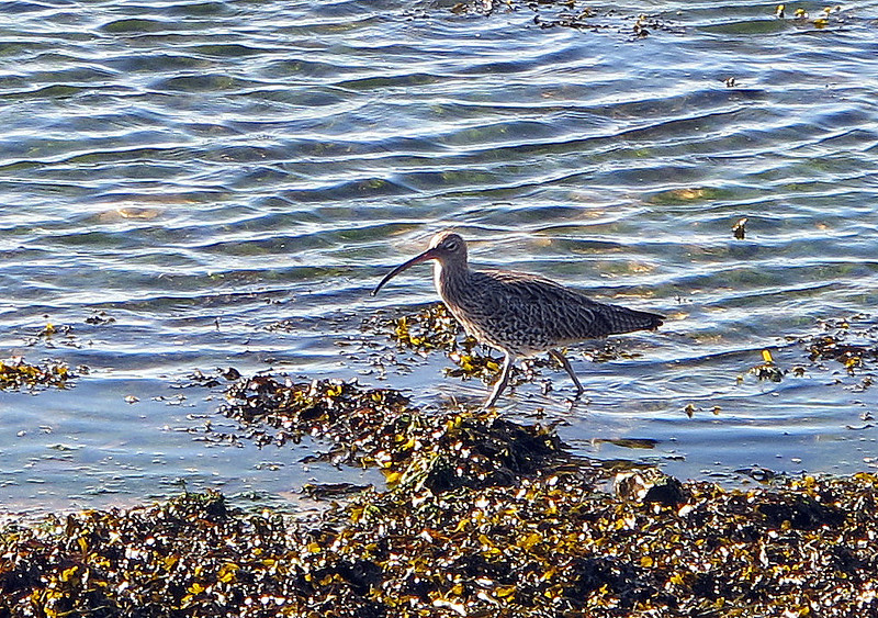 A Curlew searching for food in Hayle Estuary Nature Reserve.
