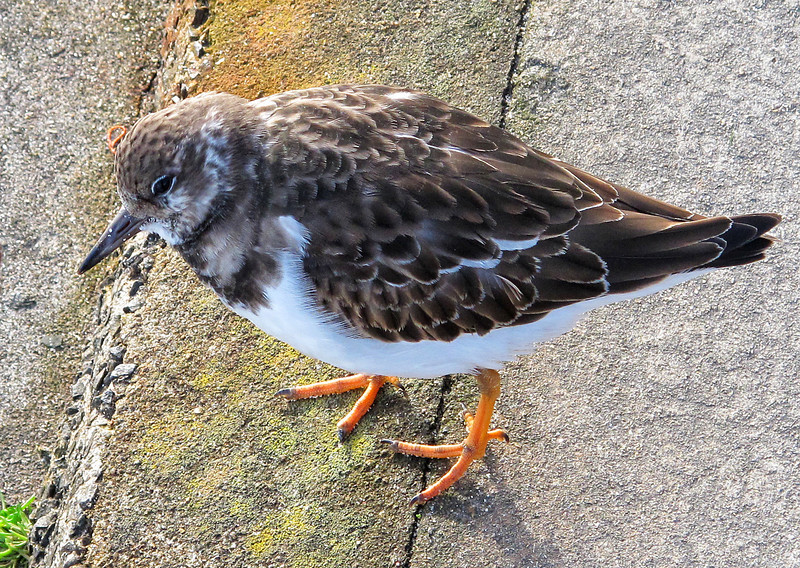 A tame Turnstone looks for food on the esplanade.