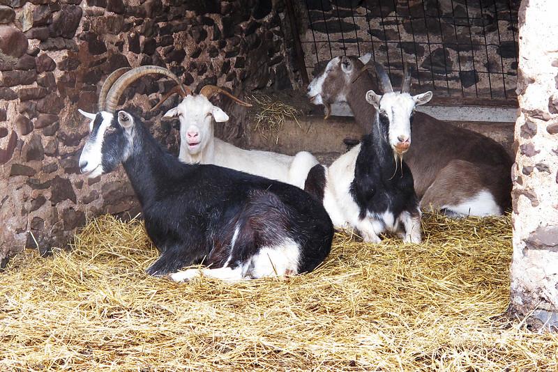 Some residents of a Bossington farm.