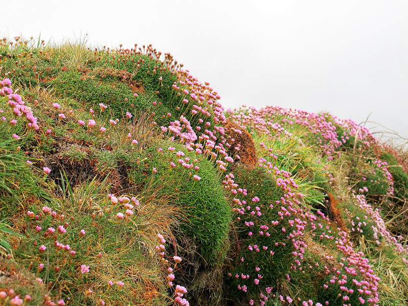 """Sea Thrift covers an old wall.  <font color=""""gray"""">Sea Thrift grows by the summer sea, Till the summer's close, On a grassy cliff, 'neath a radiant sky, While sun and summer and wind go by, Sea thrift blows and blows.  -Dollie Radford (1858-1920)</font>"""