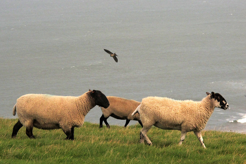 A Swallow darts amongst the sheep, catching insects.