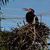 Abdim stork