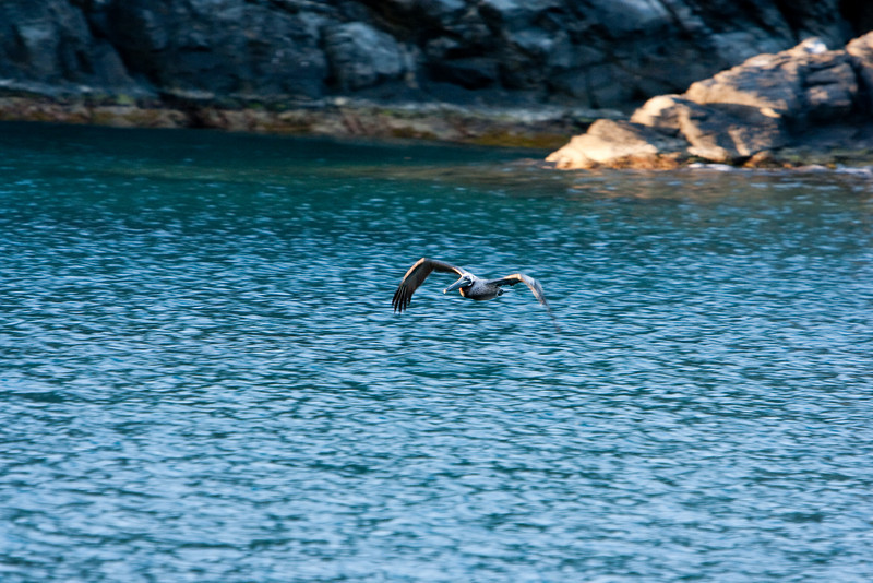 Pelican swooping low over the water.