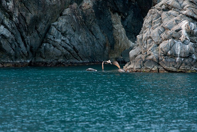 Two pelicans in the water, one flying above.