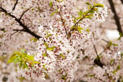 Cherry trees in Copenhagen
