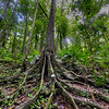 Sinuous tree roots in the rainforest at Mossman Gorge