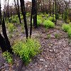 New growth following a bushfire at Fairview
