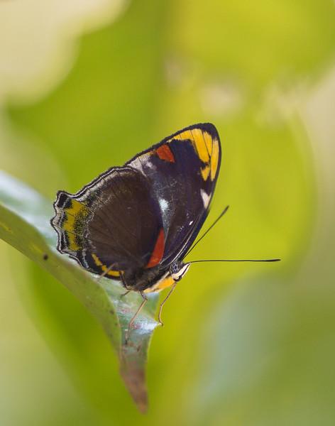 unidentified butterfly Daintree Park