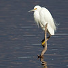 snowy egret Devereux Slough