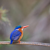 perching malachite kingfisher